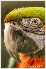 Le perroquet de mon papa 😍 (cheyennemercier) Tags: parrot perroquet bird birds animal animaux beautiful color wildlife nature nikon nikond7500