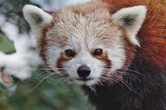 Red Panda - Ailurus fulgens (Phasmomantis) Tags: red panda ailurus fulgens mammal portrait bokeh nepal china myanmar bamboo nature wildlife pentax kmount fur