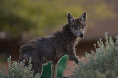 Coyote with mange (Kukui Photography) Tags: tucson arizona coyote mange neighborhood wildlife
