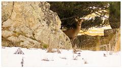 Biche cachée - Pyrénées - France (.séb.) Tags: olympus em10ii em10mk2 em10markii 40150 biche nature montagne pyrénées