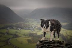 Gotcha! (JJFET) Tags: border collie dog sheepdog herding