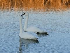 Companions (Jeff Brough) Tags: swans jeffbrough idaho trumpeter cygnus cygnusbuccinator
