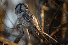 Northern Hawk Owl (Roger Daigle) Tags: raptors northern hawk owls voles hunting nikon
