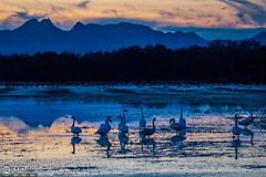 Geese at dusk (Vurnman) Tags: california norcal yubacounty commute geese dusk ricefield water flooded sutterbuttes