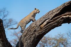 Leopard Cub in Pursuit (Glatz Nature Photography) Tags: africa botswana glatznaturephotography khwaicamp nature nikond5 wildanimal wildlife leopard africanleopard hunt tree forest predator pantherapardus