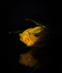 365 - Image 358 - Christmas rose... (Gary Neville) Tags: 365 6th365 photoaday 2019 sony sonya7iii a7iii a7m3 garyneville