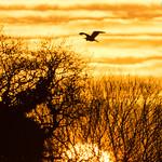 A Heron at sunset
