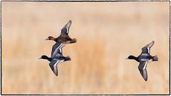 Three Lesser Scaups-revisited (RKop) Tags: fernaldpreserve raphaelkopanphotography d500 600mmf4evr 14xtciii nikon nature birds