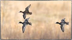 Three Lesser Scaups (RKop) Tags: fernaldpreserve raphaelkopanphotography d500 600mmf4evr 14xtciii nikon nature birds