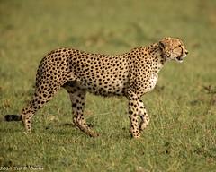 CHEETAH (teddcenter) Tags: acinonyxjubatus kenya africa feliformia mammalia carnivora felidae felinae carnivores cats cheetah mammals nakurucounty sarovamaragamecamp maasaimaranationalreserve