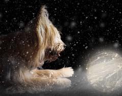 Merry Christmas 🎁🎄 Frohe Weihnachten (Martin Bärtges) Tags: spiegelreflexkamera nikonfotografie nikonphotography d200 nikon backdrop schwarz hintergrund black studiophotographystudiofotografie studio blitzankage blitz licht light kugel ball hund dog weihnachten christmas