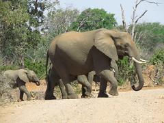 Elephants  /  Olifante (Pixi2011) Tags: elephants krugernationalpark southafrica africa wildlifeafrica wildlife wildanimals animals nature