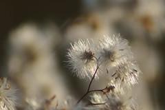 Пушистый октябрь / Furry october (4) (Владимир-61) Tags: осень октябрь природа растения autumn october nature plants sony ilca68 minolta75300