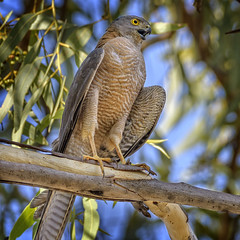 40.5°C, alice river - brown goshawk #1 (Fat Burns ☮) Tags: browngoshawk accipiterfasciatus hawk raptor bird australianbird fauna australianfauna nature nikond500 nikon200500mmf56eedvr barcaldine aliceriver queensland australia outback outdoors lagooncreekbarcaldine qld