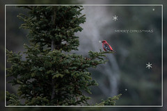 Algonquin Seasons Greetings (NicoleW0000) Tags: pinegrosbeak bird finch red green firtree spruce algonquin nature forest wildlife merrychristmas seasonsgreetings snow snowflake snowing winter happyholidays
