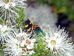 Jewel-beetles Castiarina australasiae and Castiarina ocelligera (Simon Grove (TMAG)) Tags: tasmania tmagzoology tasmanianmuseumandartgallery insecta coleoptera buprestidae castiarina