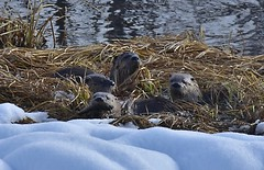 4 OTTERS in the snow (Idahobill2008) Tags: otter family tetons