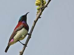 Crimson-Backed Sunbird (SivamDesign) Tags: canon eos 550d rebel t2i kiss x4 sigma 150600mm contemporary sigma150600mmf563dgoshsmcontemporary bird fauna crimsonbacked small sunbird crimsonbackedsunbird leptocomaminima male