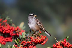 Merry Christmas!!! (Patricia Ware) Tags: california canon ef400mmf4doisiiusmlens handheld kennethhahnrecreationalarea losangeles whitecrownedsparrow zonotrichialeucophrys ©2019patriciawareallrightsreserved specanimal