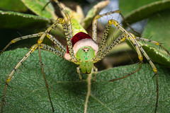 Christmas Green Lynx (jciv) Tags: greenlynx spider mission texas unitedstatesofamerica file:name=dsc01589edit macro arachnid christmas santahat