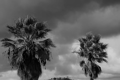 An Island In Between (Rand Luv'n Life) Tags: odc our daily challenge palm trees winter storm clouds island in between outdoor monochrome blackandwhite