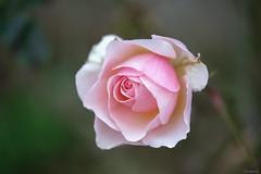pink rose (Christine_S.) Tags: pinkflowers japan decemberrose fujixt3 xf80mmf28 nature garden flowers macro bokeh flower closeup christmas rosegarden mygarden ngc npc