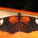 Red Postman - Heliconius erato, Mindo Butterfly Farm, Mindo, Ecuador