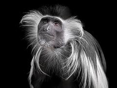 Wish Upon A Star (helenehoffman) Tags: africa angolancolobus conservationstatusleastconcern primate mammal oldworldmonkey monkey arboreal sandiegozoo blackandwhite animal angolanblackandwhitecolobus
