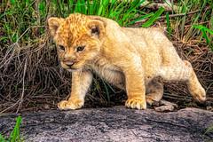 shake a leg (PhilHydePhotos) Tags: africa feline lioncub mammals mvuli safari seasonofsmallrains serengeti tanzania wildlife cats lion predator