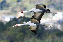 A couple of white-naped cranes: tandem flight (2) (takashi muramatsu) Tags: antigonevipio whitenapedcrane tandem flight fly flying crane cranes izumi kagoshima japan nikon d850 マナヅル