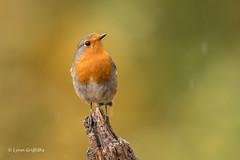 Robin D85_7364.jpg (Mobile Lynn) Tags: nature chatsrelatives birds robin bird fauna oscines passeri passeriformes songbird songbirds wildlife coth specanimal coth5 ngc npc