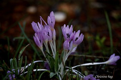 _MG_9741 (christine chagia) Tags: colchicum wildflower drops gouttes fleurs