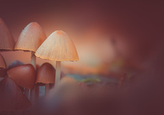 Mushrooms (Dhina A) Tags: sony a7rii ilce7rm2 a7r2 a7r 135mm f28 t45 stf sony135mmf28stf sal135f28 smoothtransitionfocus minolta smooth soft silky bokeh bokehlicious apodization