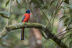 Scarlet-rumped Trogon (Harpactes duvaucelii) (hafizazemi@ymail.com) Tags: animals animal abbott nature malaysia background fauna garden javan beak birding bird birdphotography birdwatching birds brown explore endermic green one tree forest cute trogon fujifilm colorful wildlife white wild