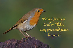 Merry Christmas to all (bobchappell55) Tags: erithacusrubecula robin christmas wild bird wildlife nature lackford lakes suffolk