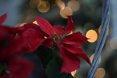 Christmas star (Slávka K) Tags: red flower light bokeh xmas holiday winter 2019 colors atmosphere star