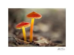 In Fraganti (g.femenias) Tags: mushrooms fungi red yellow orange leaves woods bokeh nature naturallight macro macrophotography pinardenroca bonany petra