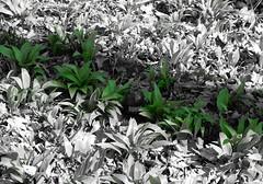 Colours in the shadow (Ostravak83) Tags: ostrava 2018 jaro spring nikoncoolpixl830 selectivecolour selektivníbarva stín shadow rostliny plants pití drink les forest lužníles floodplainforest listy leaves