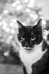 Nessi the Cat (Katzenfutter) Tags: cat animal tier katze sigma sigma35mmf14 35mm monochrome blackwhite schwarzweiss