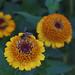 Zinderella Orange scabiosa-flowered zinnia