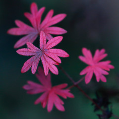 Garden Colours (AnyMotion) Tags: leaves leaf bokeh laub geranium blatt blätter cranesbill 2019 storchschnabel winter red rot nature colors garden colours frankfurt hiver natur invierno farben anymotion 7d2 canoneos7dmarkii square 1600x1600 ngc npc