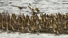 Golden Plovers-7D2_8355-001 (cherrytree54) Tags: canon7dmkii sigma 150600 golden plover rye harbour