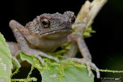 Ansonia longidigita?_MG_5938 copy (Kurt (OrionHerpAdventure.com)) Tags: longfingeredslendertoad anosonialongidigita toad frog frogsofborneo tropicalfrogs
