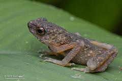 Ansonia longidigita?_MG_5934 copy (Kurt (OrionHerpAdventure.com)) Tags: longfingeredslendertoad anosonialongidigita toad frog frogsofborneo tropicalfrogs