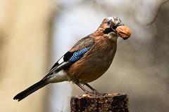Eichelhäher im Regen (robert.pechmann) Tags: garrulusgandarius eichelhäher walnuss nuss vogel robert pechmann bird