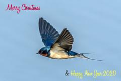 Merry Christmas! (chandra.nitin) Tags: animal bif barnswallow bird flying nature outdoor wildlife greaternoida uttarpradesh india