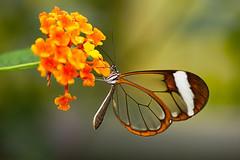 Greta morgane (perez.voecking) Tags: greta morgane schmetterling butterfly macro makro nature animal insect insekt blüte flower blossom bokeh nahaufnahme