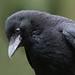 Carrion Crow-28