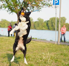 Border Collie playing with a ball beside the River Rhine in Eltville, Germany - 2019 (DieterLo1) Tags: border collie dieter lochschmidt eltville am rhein tier animal dog hund dogs hunde