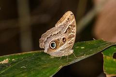 Dusky Owl-Butterfly (Caligo illioneus oberon) (Allan Hopkins) Tags: fazendasãonicolau matogrosso brazil southernamazon allanhopkins hoppy1951 duskyowlbutterfly caligoillioneusoberon rainforest
